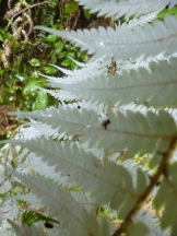 New Zealand's most visible national symbol, the silver fern. The fern is green on the top side and silver on the underside
